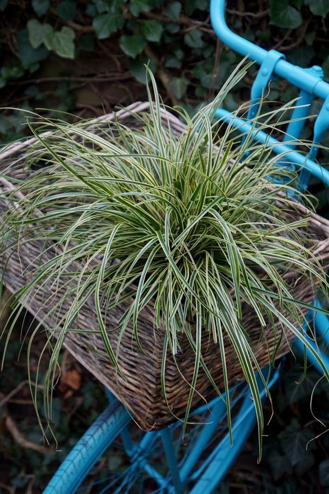 Carex oshimensis /'Evercream/'