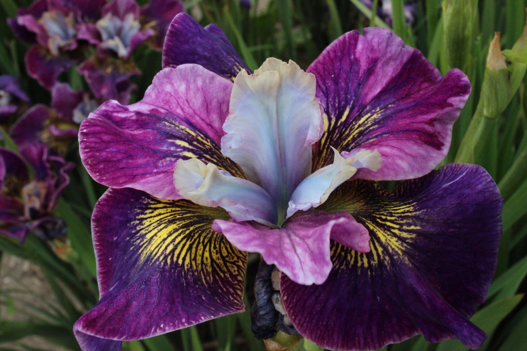 Iris Sibirica Peacock ButterflyR Charming BillyR